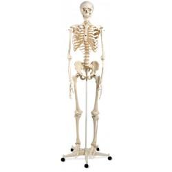 Esqueleto humano Stan A10  5 ruedas